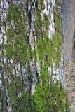 Moos auf Baumrinde Stockbild