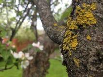 Moos auf der Barke des Apfelbaums im Frühjahr Stockfotografie