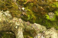 Moos auf einem Abgrund im Wald Stockfotografie