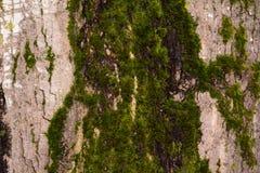 Moos auf einem Baum Stockfotos