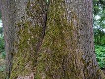 Moos auf einem großen alten Baum stockfoto