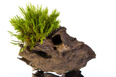 Moos auf einem Stumpf Stockbild