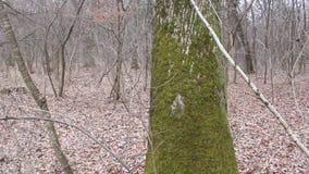 Moos auf einer Baumrinde stock video