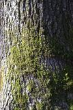 Moos auf einer Eichenbarke stockfotos