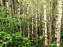 Moos auf Erlenbäumen im Regenwald Lizenzfreie Stockfotos