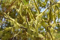 Moos auf Madeira-Bäumen stockbild