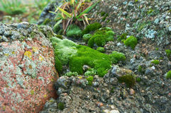 Moos auf Stein Stockfoto