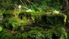 Moos auf Stumpf im Waldalten Bauholz mit Moos im baumwald der gezierten Kiefer des Waldstumpfgrünmooses Koniferen stock video