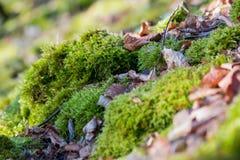 Moos bedeckt mit Blättern Stockbild