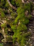 Moos behandelde boomwortels Stock Foto