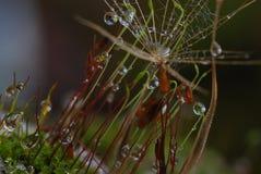 Moos con le gocce di pioggia - alto vicino fotografia stock