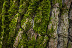 Moos cubrió macro de la corteza del pino Imagenes de archivo