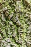 Moos, das auf Baumrinde wächst Lizenzfreies Stockbild