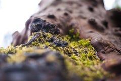 Moos, das auf Baumrinde wächst Lizenzfreie Stockbilder