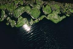 Moos, das auf Wasser wächst Stockfotografie