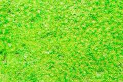 Moos, das befestigtes Blatt wächst Stockfoto