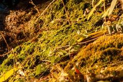 Moos, das nahe dem Wasser wächst Lizenzfreie Stockfotografie