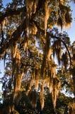 Moos, das vom großen Eichenbaum hängt Stockfotos