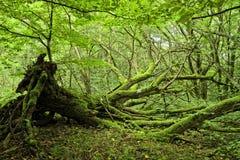 Moos deckte Bäume im Wald ab Stockbild