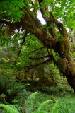 Moos deckte Bäume no.3 ab Stockfotografie