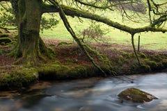 Moos deckte Baum auf dem Fluss Fowey ab Lizenzfreie Stockfotos