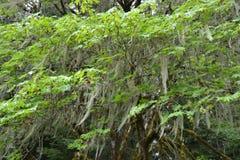 Moos drapierte Bäume Stockfotos