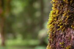 Moos an einer Barke eines Sykomorebaums Lizenzfreie Stockbilder