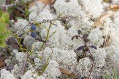 Moos, Flechte (Pilz) und Blaubeere Stockbilder