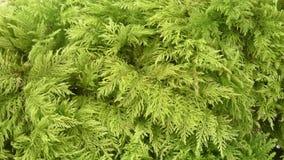 Moos - Hylocomiaceae Stock Image