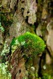 Moos ist auf dem Hölzchen in der Natur Stockbilder
