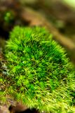 Moos ist auf dem Hölzchen in der Natur Stockfotografie