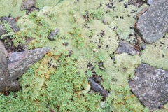 Moos and lichen on the andesite rock Stock Photography