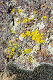 Moos Lichen grows on teh side of a rock Stock Photography