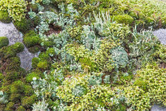 Moos and lichen on the rock Royalty Free Stock Image