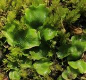 Moos (Marchantia polymorpha) lizenzfreie stockfotografie