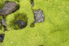 Moos mit Wassertropfen stockbilder
