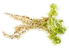 Moos Sphagnum Royalty Free Stock Images