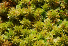 Moos Sphagnum papillosum Royalty Free Stock Photography