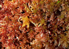 Moos Sphagnum papillosum Royalty Free Stock Photo