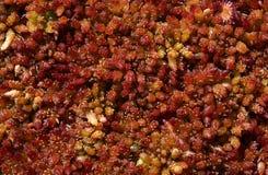 Moos Sphagnum papillosum Stock Image