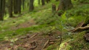 Moos und Farn bedeckter Waldboden stock video
