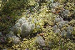 Moos und Flechte (Pilz) im Sonnenlicht Lizenzfreies Stockbild