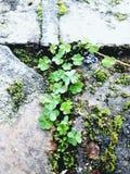 Moos und Klee, die vom alten Ziegelstein und von der Steinwand wachsen Lizenzfreie Stockbilder