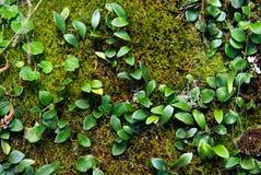 Moos und Kriechpflanze lizenzfreies stockfoto