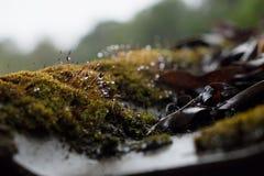 Moos und Wasser lässt das Wachsen auf der Dachplatte fallen Stockfoto