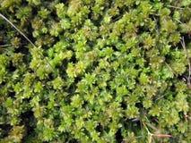 Moos verdi in palude fotografia stock