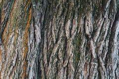 Moos wächst ein Stückchen auf der Barke Stockfoto