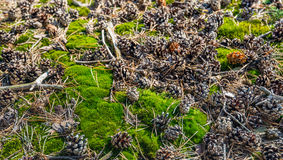Moos, Zweige und kleine Kiefernkegel auf dem Waldboden Stockbilder