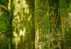 Moosbedeckte tropische Bäume Stockbilder