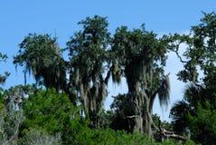 Moosbedeckungsbäume Stockbild